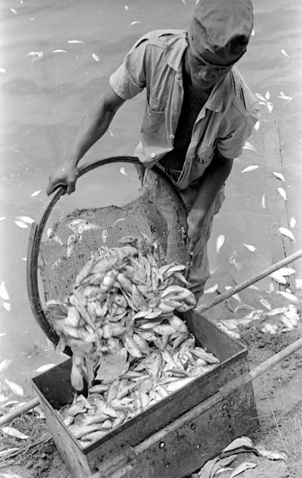 O que à primeira vista seria uma pesca farta é na verdade o recolhimento de peixes mortos na Lagoa Rodrigo de Freitas. A mortandade, recorrente no bairro, aconteceu em janeiro de 1970 e mobilizou pelo menos 90 homens da DLU, a então  Divisão de Limpeza Urbana da cidade. Sem embarcação, ou material de trabalho adequado, o recolhimento era feito precariamente com ancinhos, pás e peneiras, rasgadas, como a da foto.