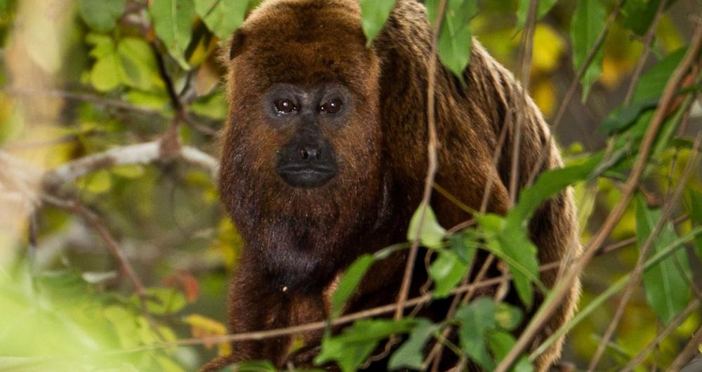 Macaco bugio é a espécie do animal mais suscetível à febre amarela. Eles não transmitem a doença.
