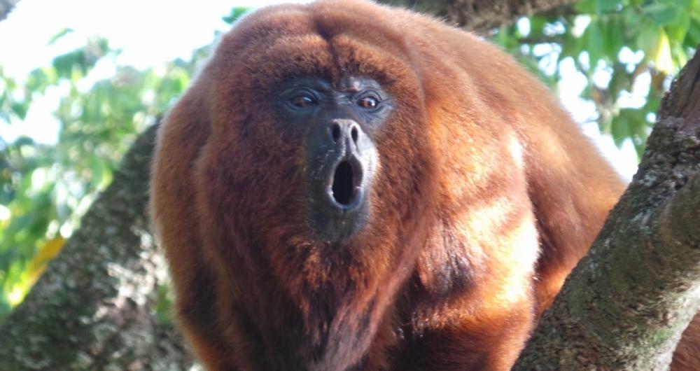 Macacos não transmitem febre amarela. Por medo da doença, animais estão sendo mortos.