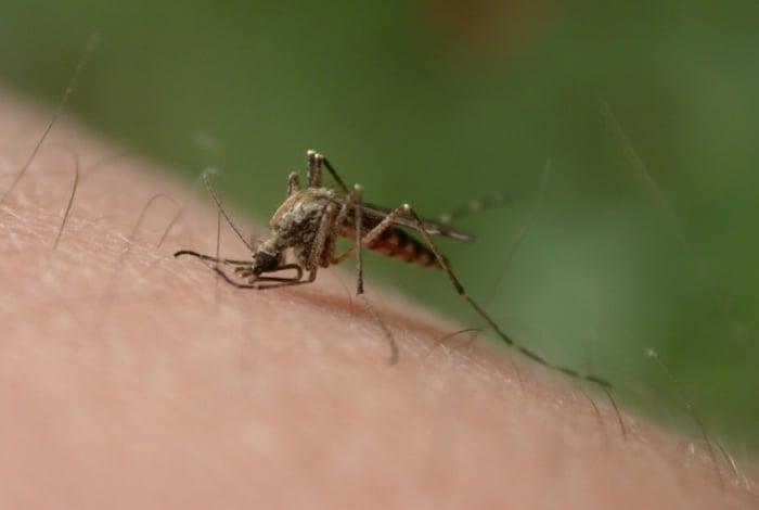 A malária é transmitida pelas fêmeas infectadas do mosquito Anopheles