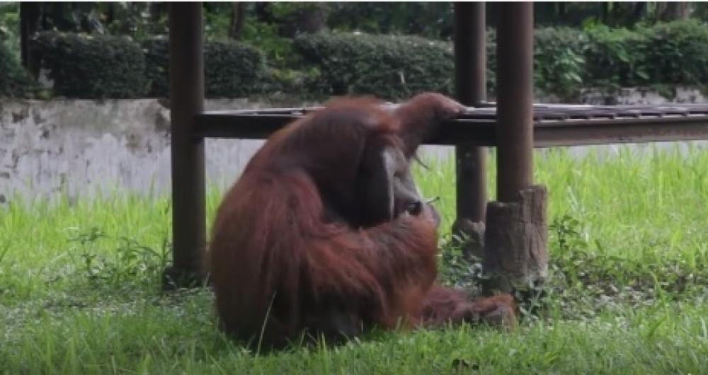 Orangotango fuma cigarro arremessado por visitante na Indon�sia.