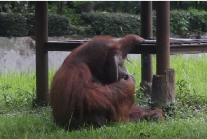 Orangotango fuma cigarro arremessado por visitante na Indonésia.