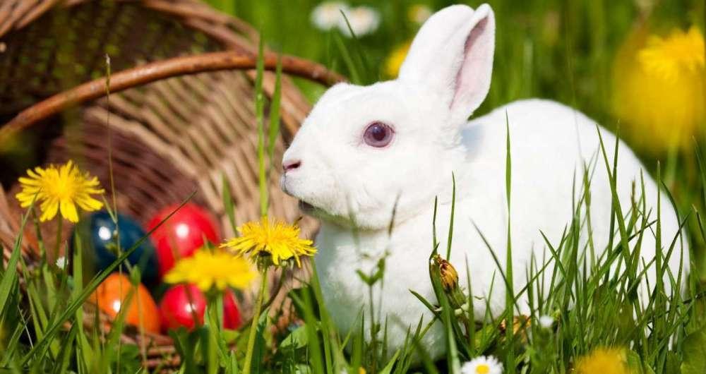 Na P�scoa, a procura por coelhos aumenta muito e bichos tamb�m precisam de cuidados especais.