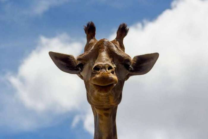 Designar as girafas como ameaçadas colocaria restrições à sua importação para os Estados Unidos e disponibilizaria recursos federais para os esforços de conservação
