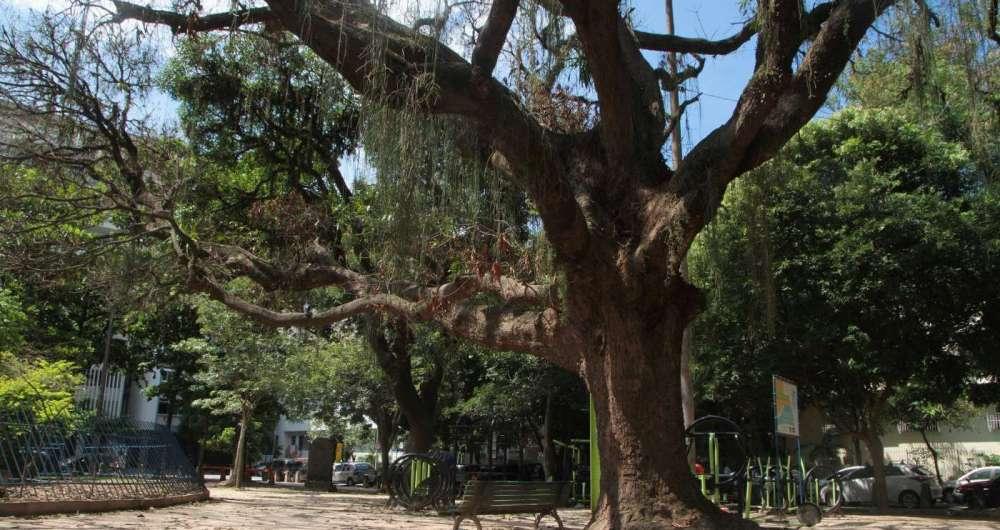 Parasitas ervas-de-passarinho se instalaram no tronco das árvores