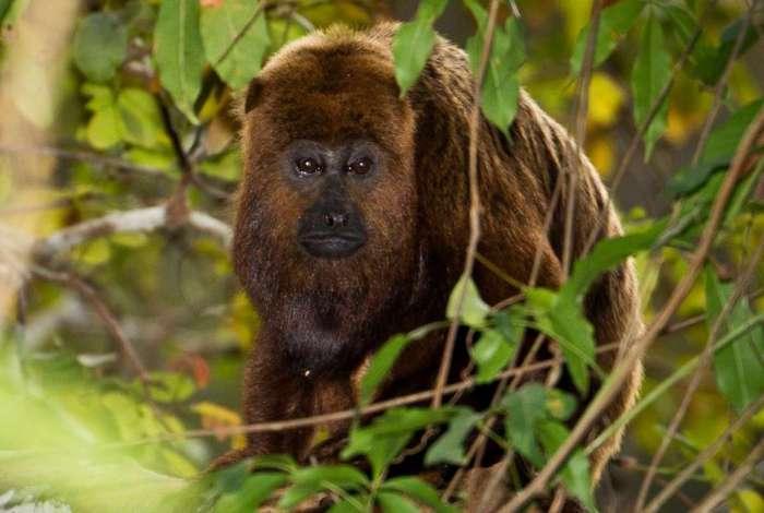 Macaco bugio � a esp�cie do animal mais suscet�vel � febre amarela