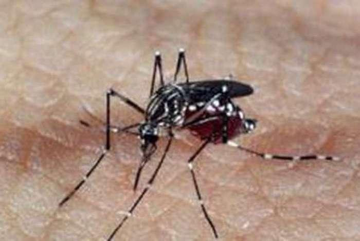Aedes aegypti, transmissor do vírus da dengue, febre amarela e chikungunya