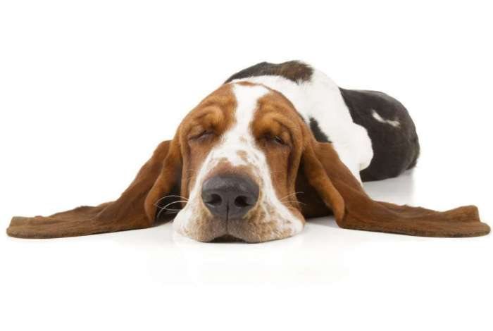 Cansaço é um dos sintomas dos pets em períodos de clima seco