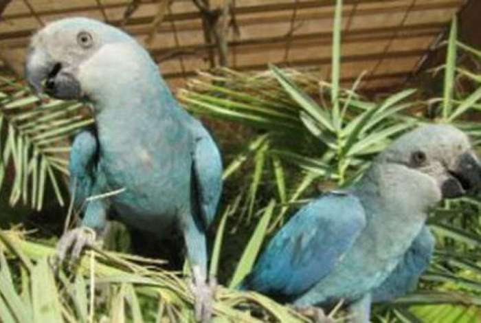Ararinha azul desapareceu de seu habitat natural em 2000 e agora teve a extinção na natureza declarada