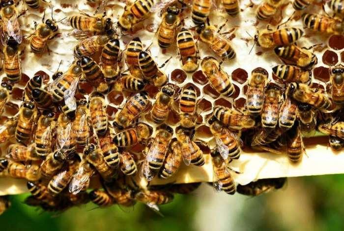 Preserva��o da esp�cie: Corpo de Bombeiros recomenda a contrata��o de um apicultor para retirada de colmeias em ambiente urbano