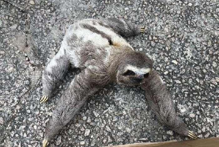 Bicho preguiça é resgatado no Recreio