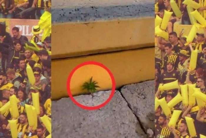Pé de maconha foi encontrado em arquibancada do Peñarol