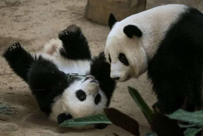 Panda comemora um ano em zoológico da Malásia