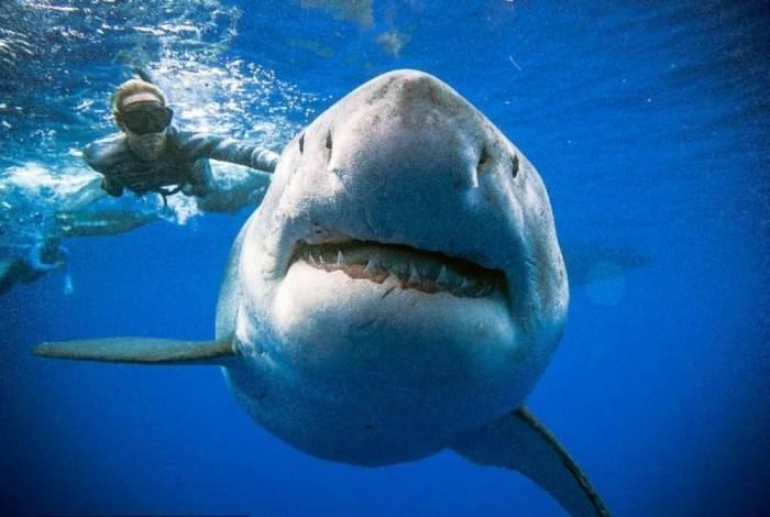 d90e5d9bc2 Genoma do tubarão branco é sequenciado e pode ajudar na sua ...