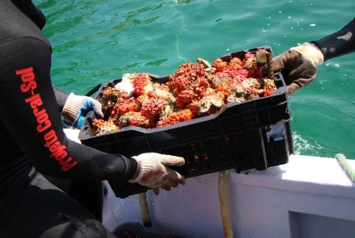 Equipe do BrBio tem 50 pessoas, incluindo mergulhadores. Na foto, um deles recolhe porção de coral-sol