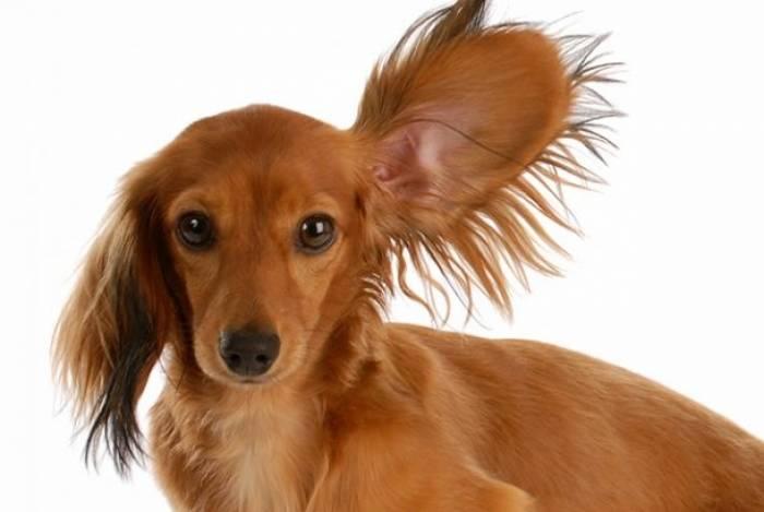 A higiene nas orelhas e ouvidos deve ser feita uma vez por semana