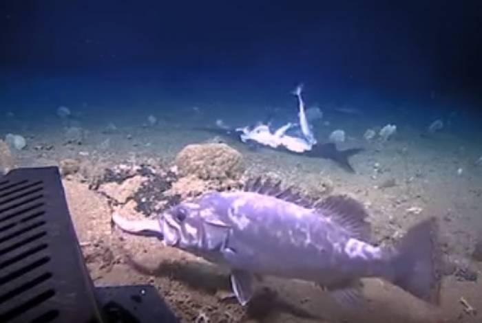 Câmeras flagraram tubarão sendo engolido vivo por peixe gigante