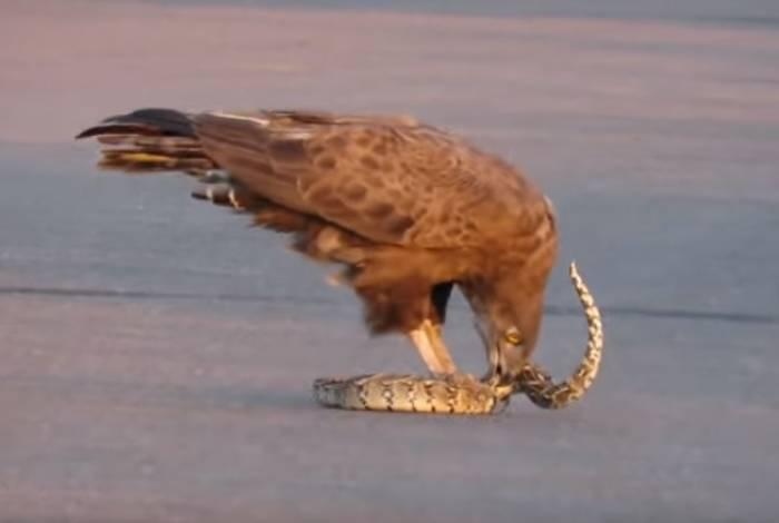 Água e cobra lutam na África