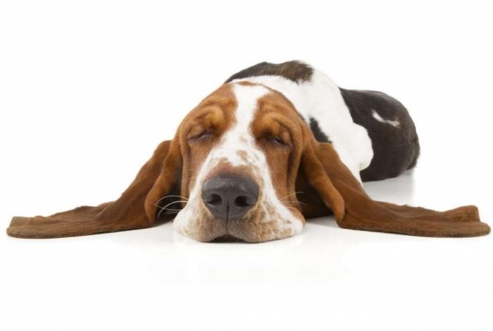 Nos EUA tutores estão usando canabidiol para tratar doenças em pets