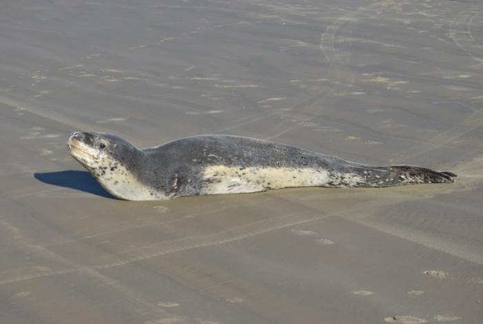 Foca rara é registrada em praia do Rio Grande do Sul