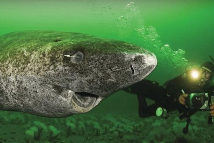 Tubarão filmado por cientistas é o mais velho do mundo, com mais de 500 anos