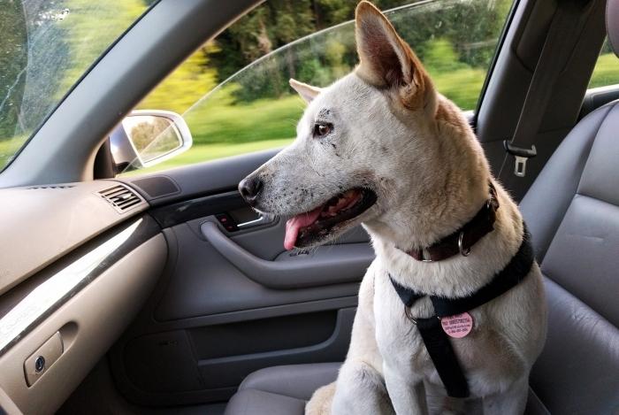 Transportar pet apenas preso pela coleira representa risco para o animal e todos no carro