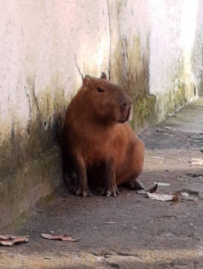 Animal corria entre as ruas Santa Carolina e São Rafael, na Tijuca