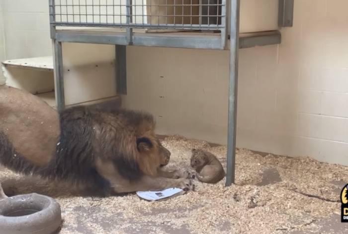 Leão Tobias conhece seu filhote