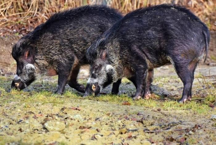 Segundo a mídia local, pai e filho caçavam os javalis em uma área onde a prática é proibida
