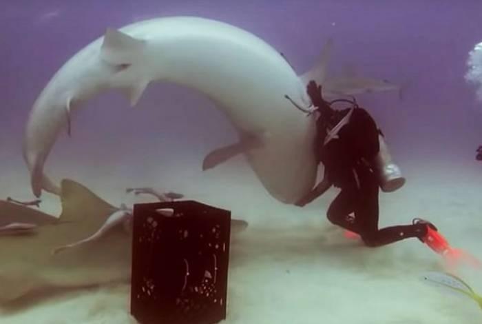 Técnica faz os músculos dos tubarões relaxarem e controlam a respiração do animal