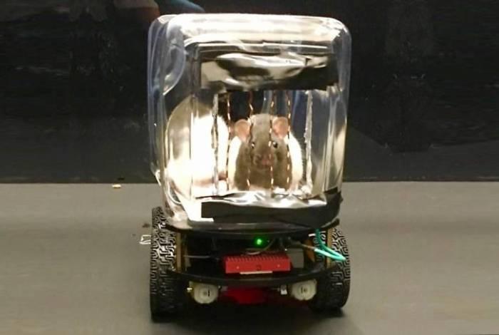 Cientistas estimulam ratos a dirigirem carrinhos elétricos em troca de comida