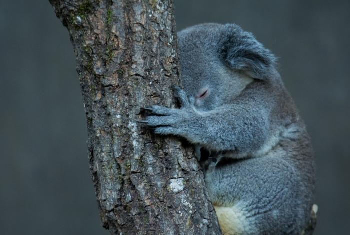 Dois terços do habitat dos coalas na Reserva Natural de Lago Innes foram destruídos