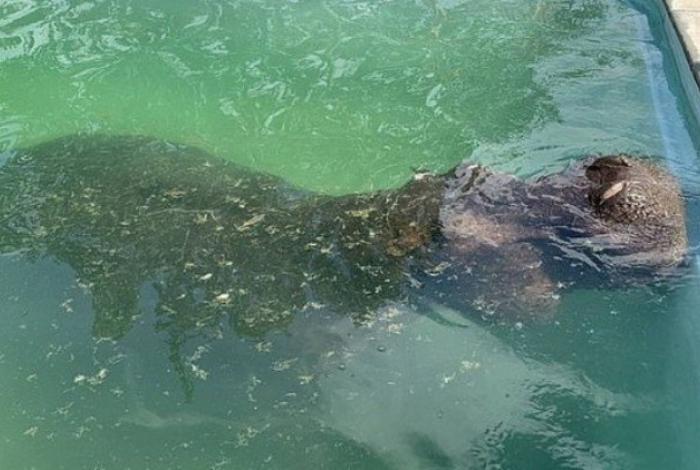 Animal, com cerca de três toneladas, aproveitou residência para tomar um banho de piscina