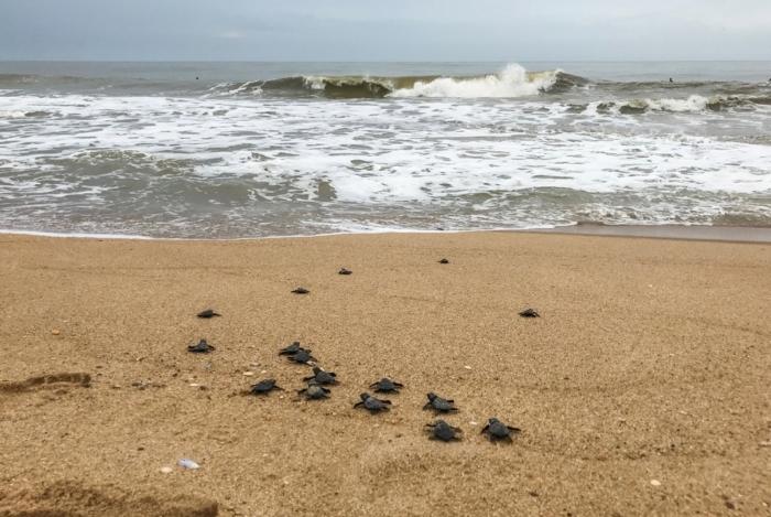 O Projeto Tamar tem uma unidade na Praia do Farol e vai convidar os visitantes para participar da soltura das tartarugas marinhas no mar