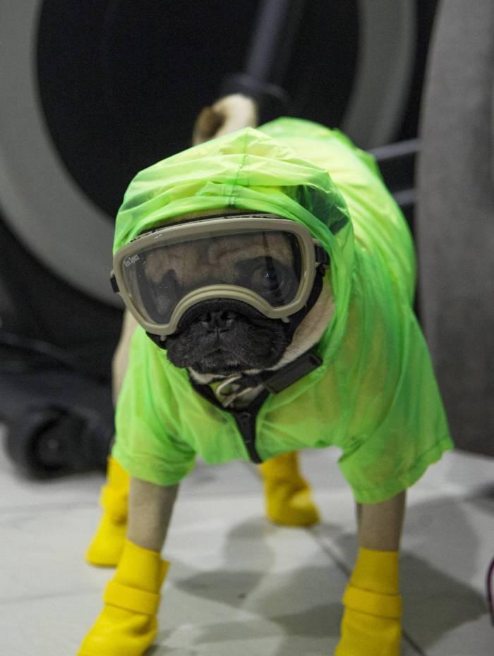 A psicóloga e neuropsicóloga Lucia Ledesma Torres coloca equipamentos de proteção em seu cachorro Harley, também conhecido como El Tuerto, para impedir a propagação do novo coronavírus, COVID-19, na Cidade do México