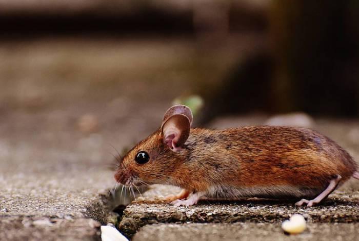 Estudo aponta que camundongos se aproveitaram do homem para conquistar o mundo
