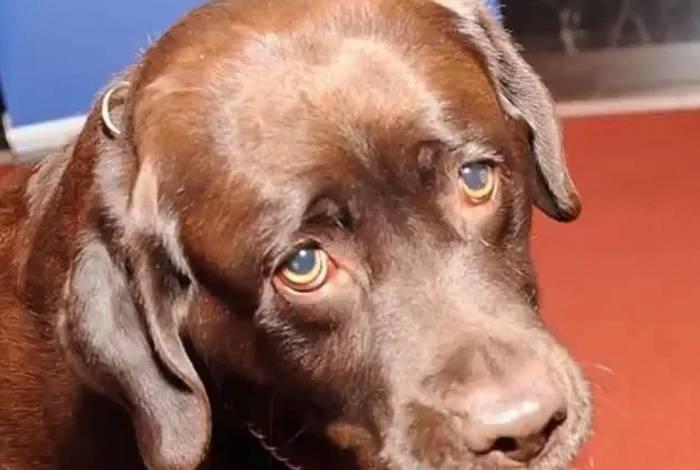 Cachorro labrador. Imagem ilustrativa.