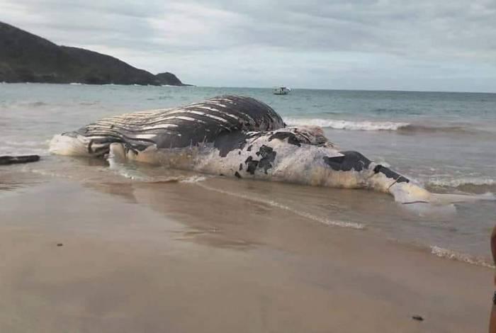 Baleia Jubarte encontrada na Praia Brava em Búzios