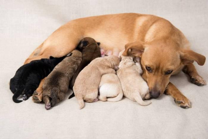 Cadela amamentando os filhotes