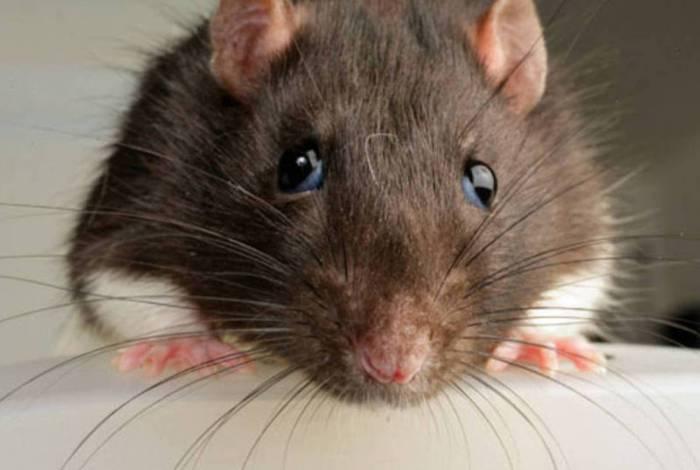 Entenda o que representa sonhar com ratos