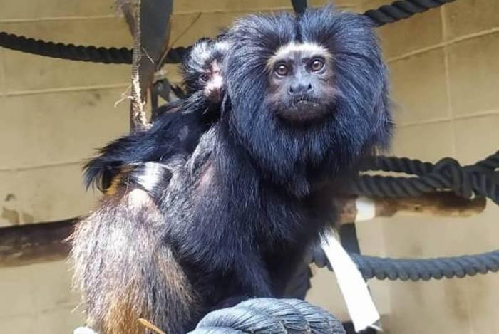 Nasceram no Zoológico de São Paulo dois filhotes de mico-leão-preto