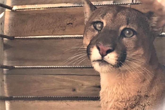 A onça capturada em Barra do Piraí foi levada para o Zoológico de Volta Redonda
